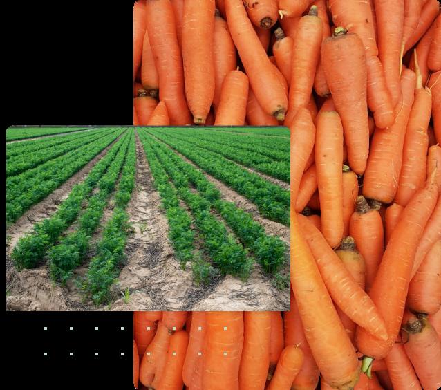 carota veneta