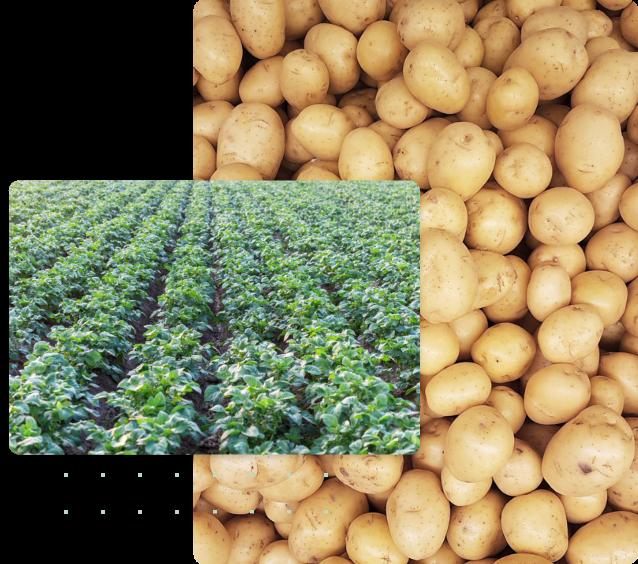 patata Italia