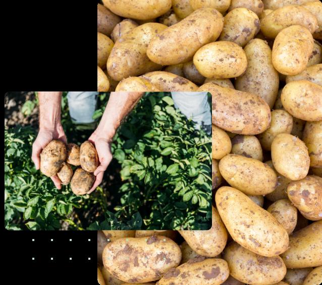 patate cultura della cucina